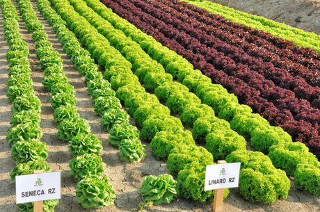 Come coltivare le diverse tipologie di insalata