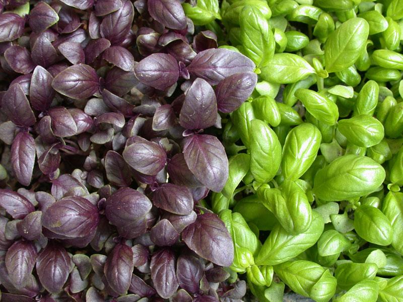 Come coltivare le diverse varietà di basilico