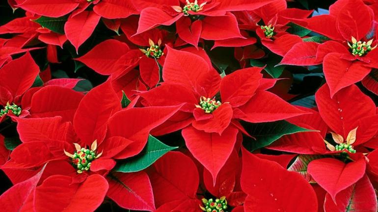 Come decorare la stella di Natale