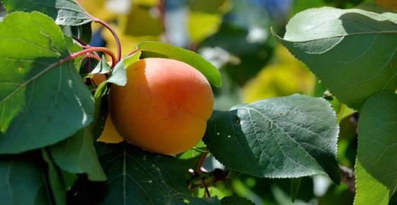 coltivare i semi della frutta