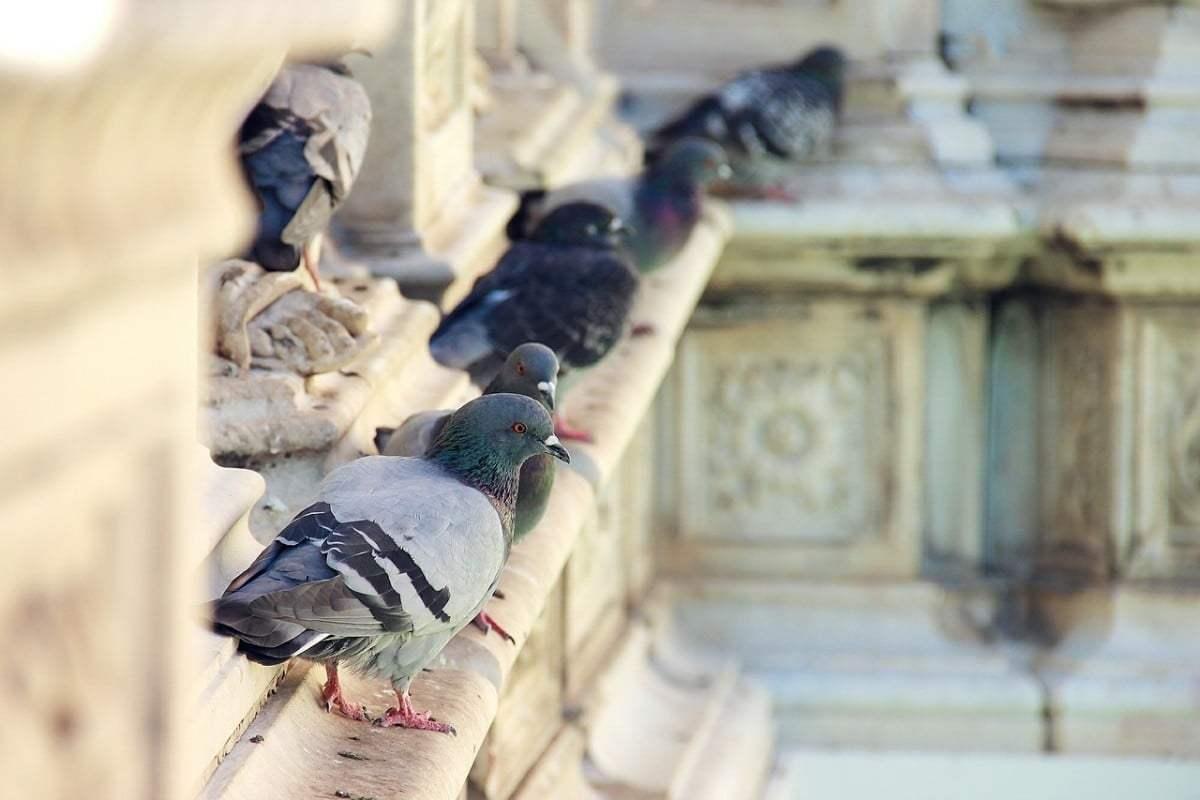 Guida allontanare i piccioni